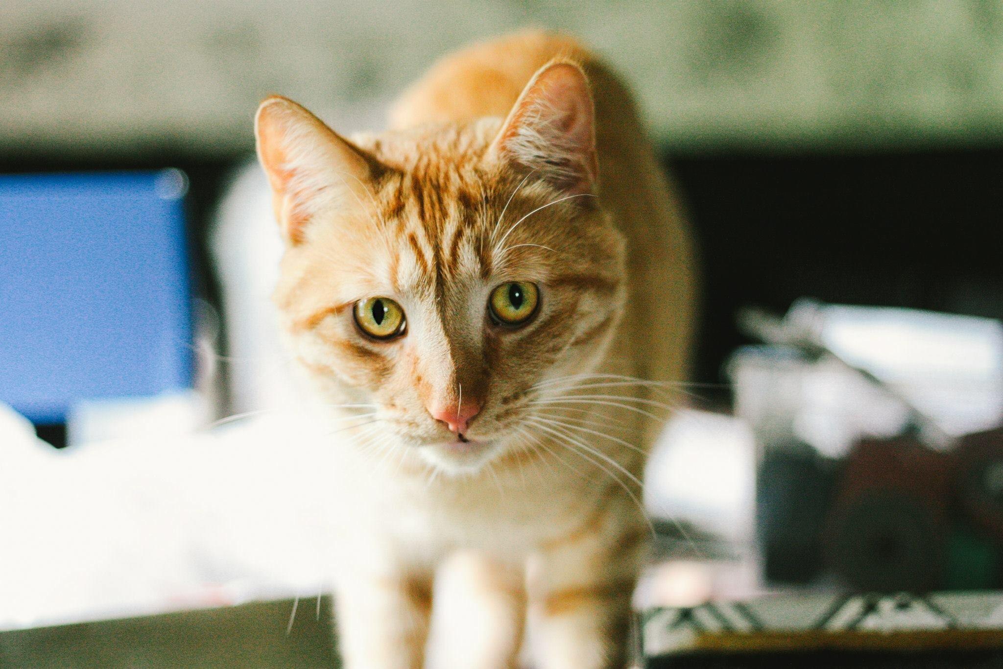 Heritage Humane Society Cats
